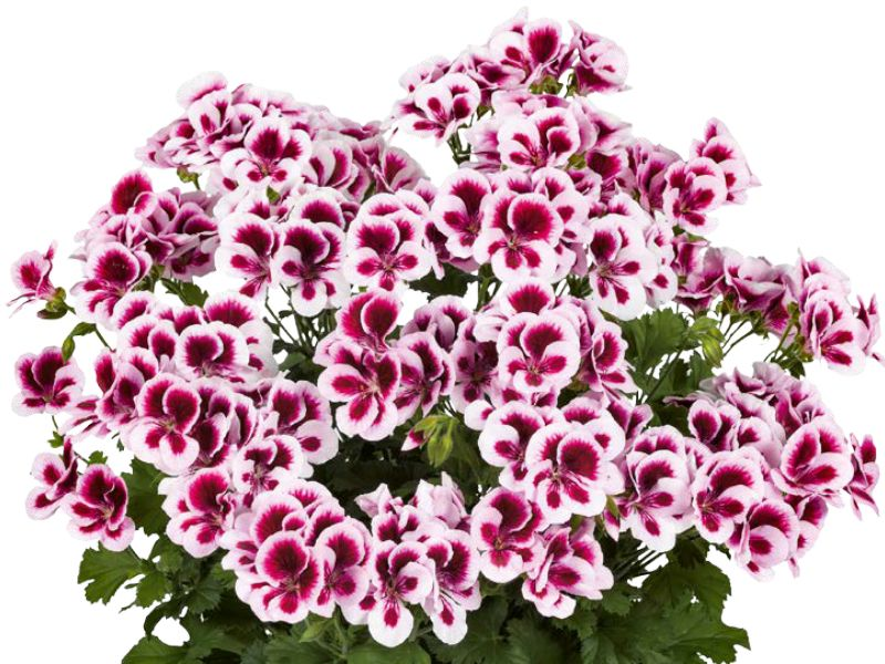 Pelargonium grandiflorum Candy Flowers cabecera